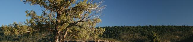 A Juniper Tree